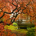 Another Japanese Lace Leaf Maple Tree at Portland Japanese Garden in the Fall