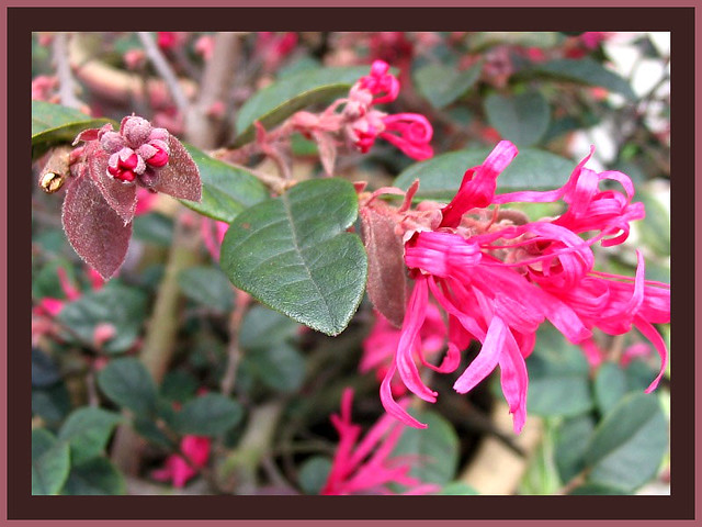 Flowers and buds of sizzling pink loropetalum commonly k flickr flowers and buds of sizzling pink loropetalum by jayjayc mightylinksfo