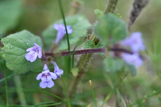 Ground Ivy | by Barry Cornelius