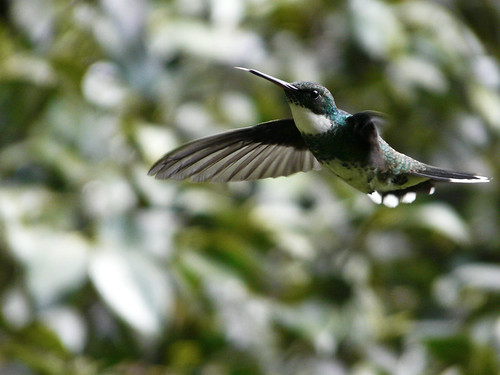 Humming bird - Standing still | by Berenice Decados