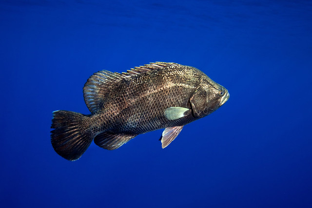 Atlantic tripletail jardines de la reina cuba flickr photo sharing - Jm jardin de la reina ...