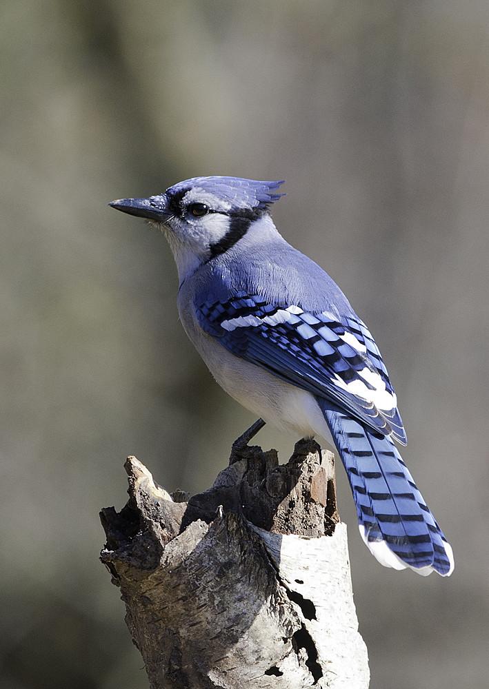 Blue Jay Portrait Ontario Canada Steve Courson Flickr