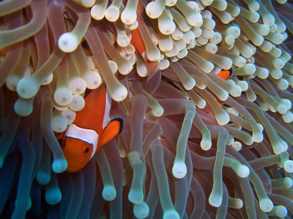 Image Result For Clownfish And Anemone