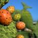 Fichi d'India - Prickly Pear Cactus Fruit