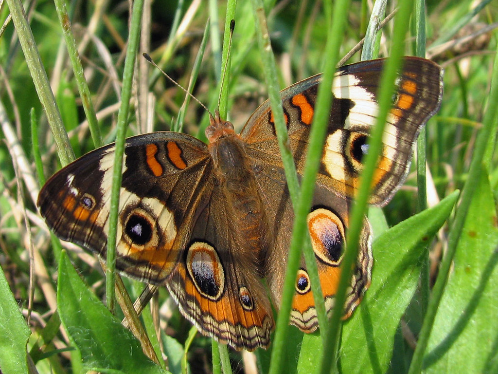 Bad camo common buckeye pretty brown and orange - Brown butterfly meaning money ...