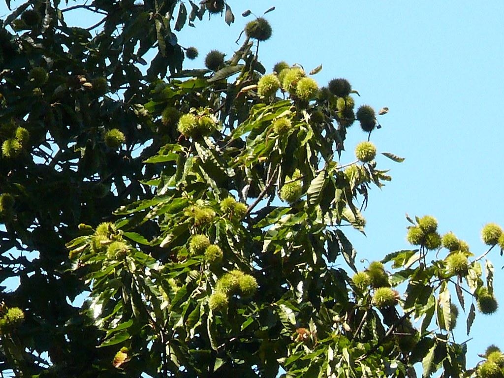 P c chestnuts my chinese chestnut tree has many