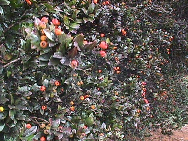 Myrceugenia fernandeziana h et a johow jard n for Jardin botanico vina