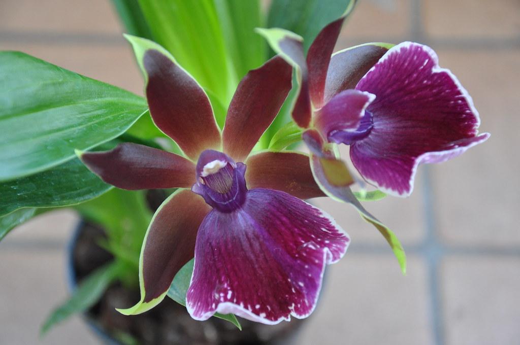 Орхидеи фаленопсис  основные виды рекомендации по уходу
