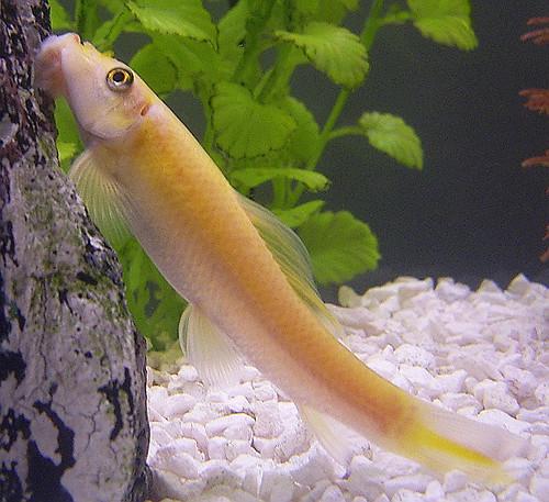 Golden chinese algae eater gyrinocheilus aymonieri flickr for White algae in fish tank