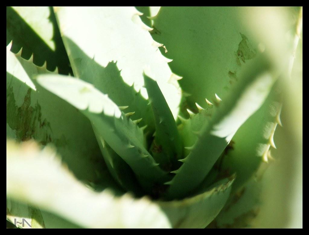 Cuidado que no te muerda la planta de aloe vera - Cuidados planta aloe vera casa ...