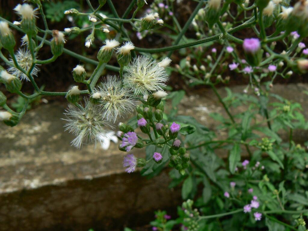 Sahadevi (Sanskrit, Hindi, Marathi: सहदेवी) | Asteraceae ...