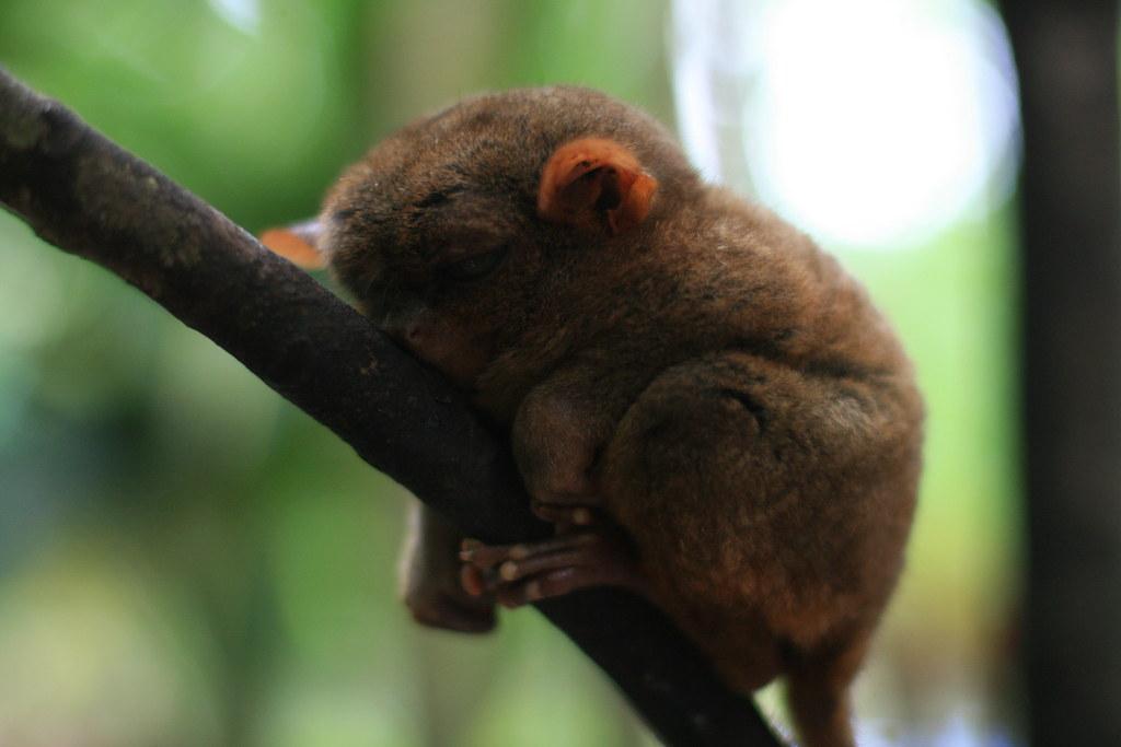 tarsier | by baltamour carla