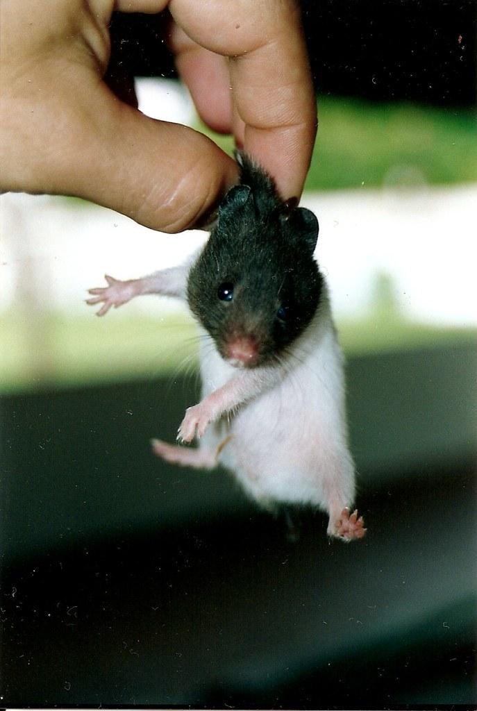 hamster free p