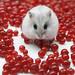 Mitza with redcurrant berries
