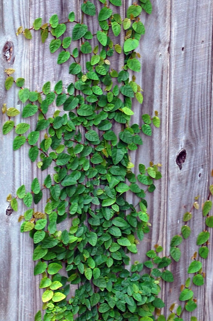 Fig Ivy Abbey Forney Flickr