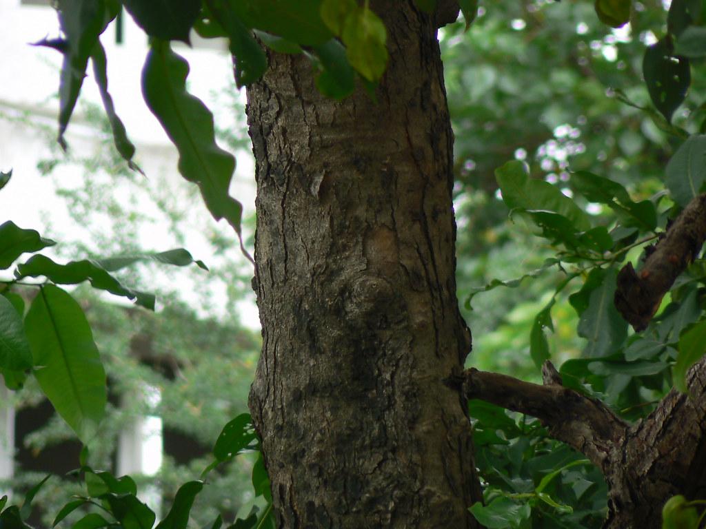 Crocodile bark tree combretaceae rangoon creeper family for Terrace meaning in tamil