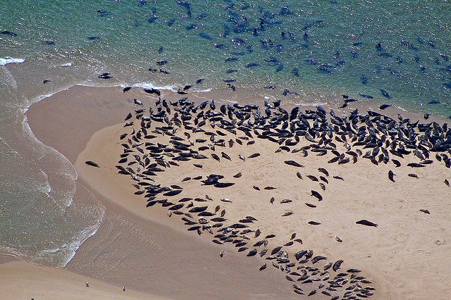 Seals on a Sandspit (Chatham, Cape Cod) | Grey and Harbor ...
