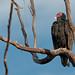 On Watch, Turkey Vulture