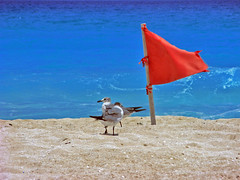Two Brave English Seagulls on Holiday