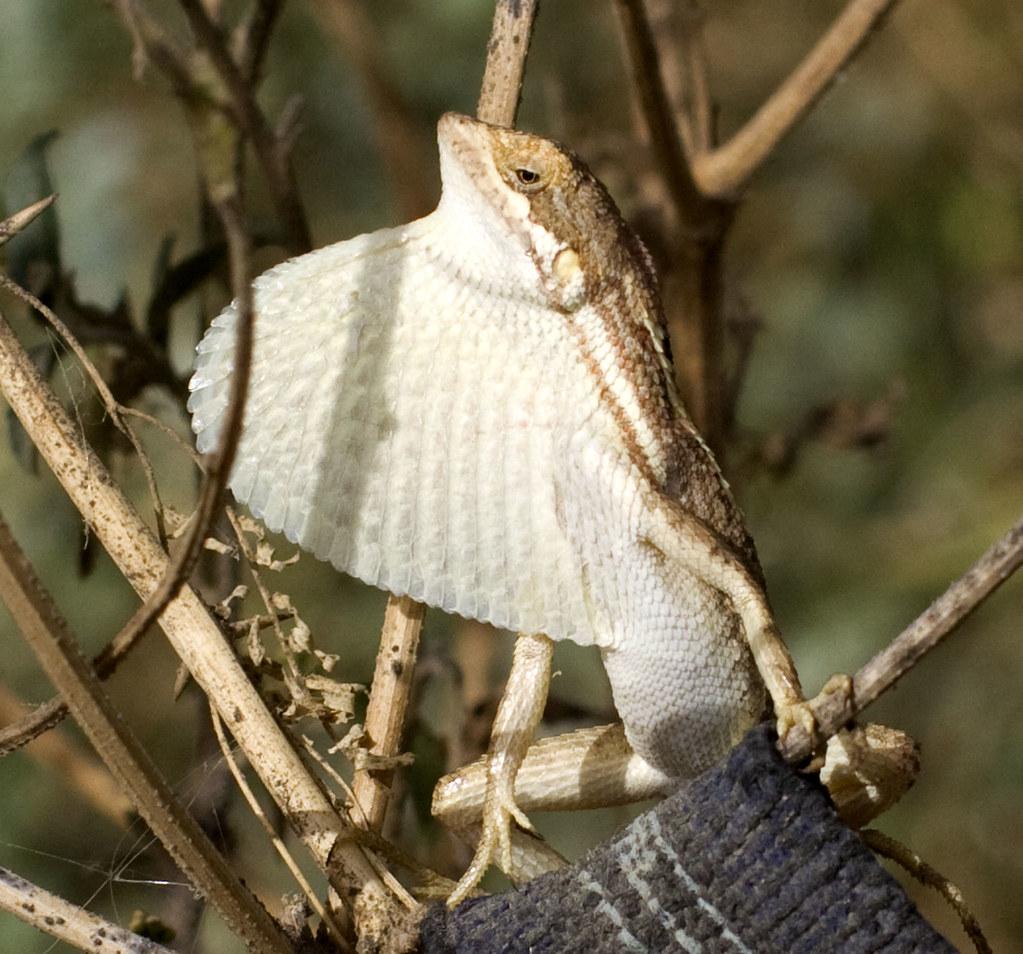 fan throated lizard