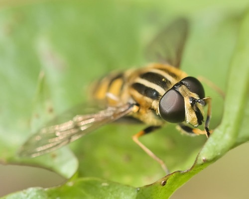 Sun Fly - Heliophilus pendulas - female | by afterforty‽