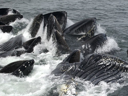 Humpback Whales Feeding 1 | by Peat Bakke
