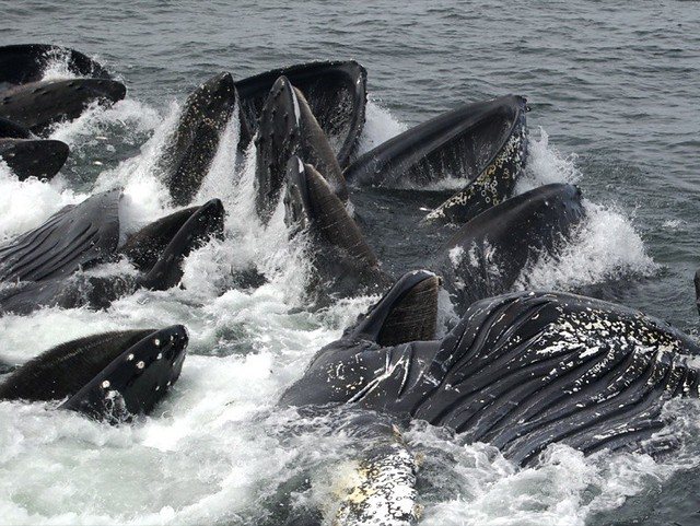 Humpback Whales in Massachusetts