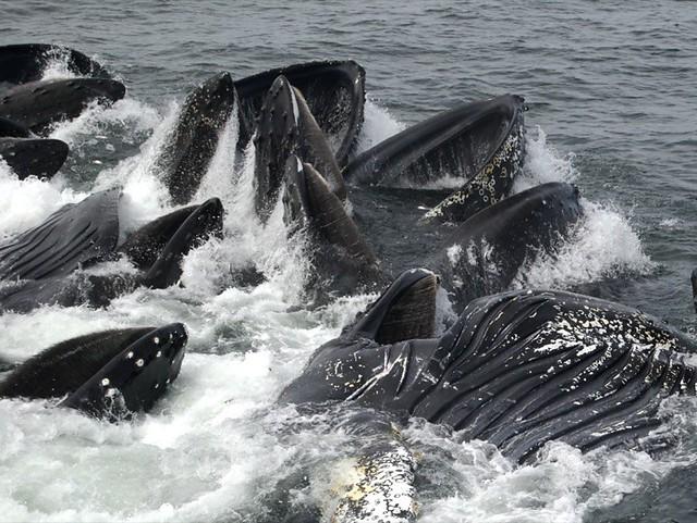 Humpback Whales in Massachusetts