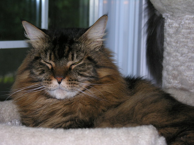 Brown Tabby Maine Coon | Flickr - Photo Sharing!