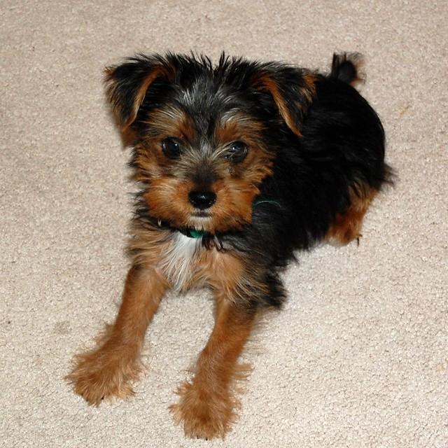 Maltese Yorkie Mix Rescue Dog