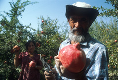 Man in pomegranate field. Tajikistan | by World Bank Photo Collection