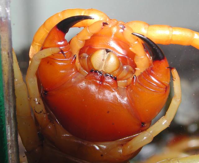 Recent Photos The Commons 20under20 Galleries World Map App Garden ... Giant Centipede Fangs