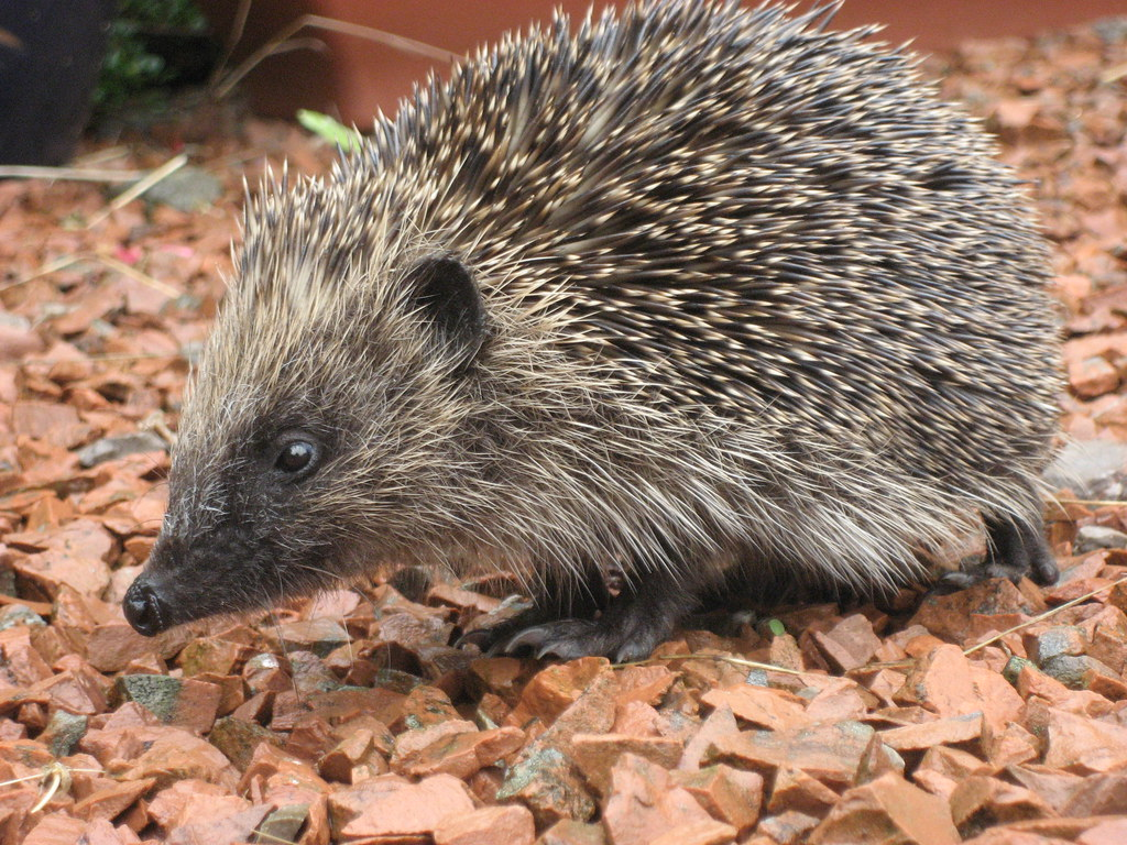 Terms Of Use >> Hedgehog - free use | side view of a hedgehof. Free to use a… | Flickr