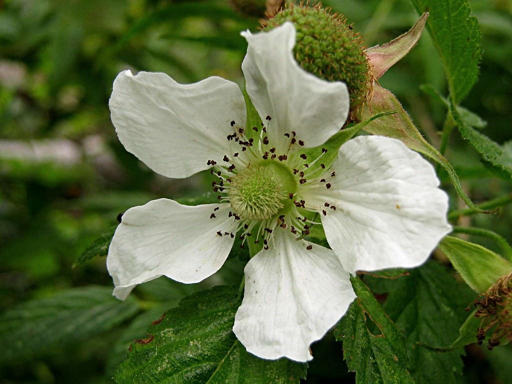 Rubus rosifolius Native Raspberry Flower The rather att…