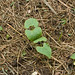 Humble Garden: bush beans