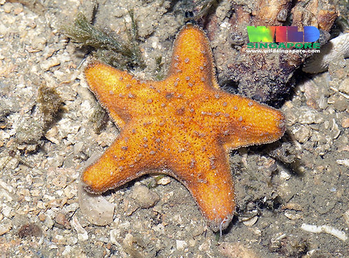 Crown sea star (Aquilonastra coronata)