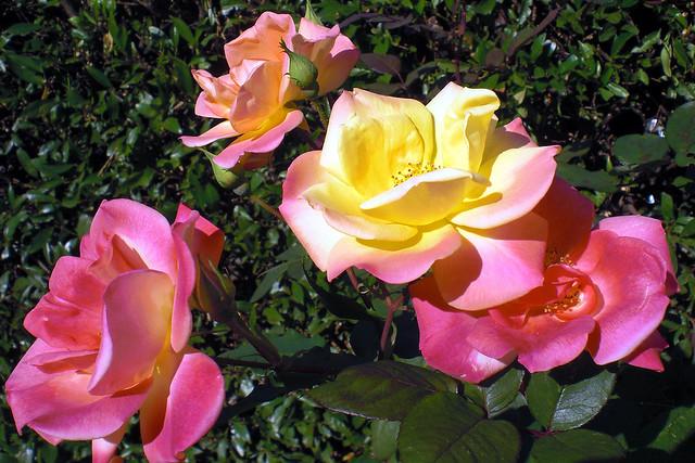 Pink und gelbfarbene Rosenblüten am Strauch