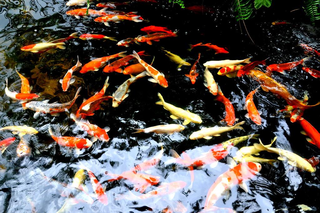 Koi fish pond koi fish pond kranji countryside for Koi fish culture