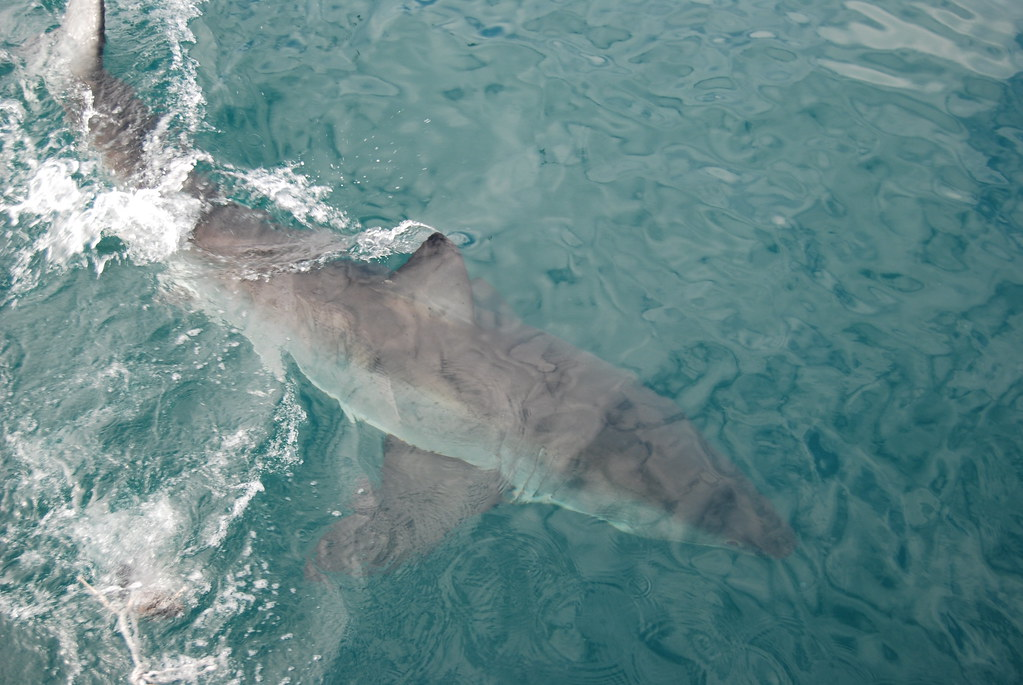 Kleinbaai South Africa  city pictures gallery : great white shark near our boat, Kleinbaai, South Africa… | Flickr