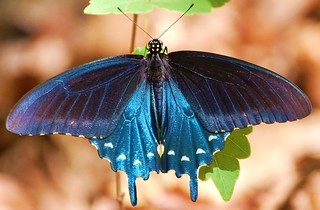Pipevine Swallowtail (Battus philenor) | by Jayman931
