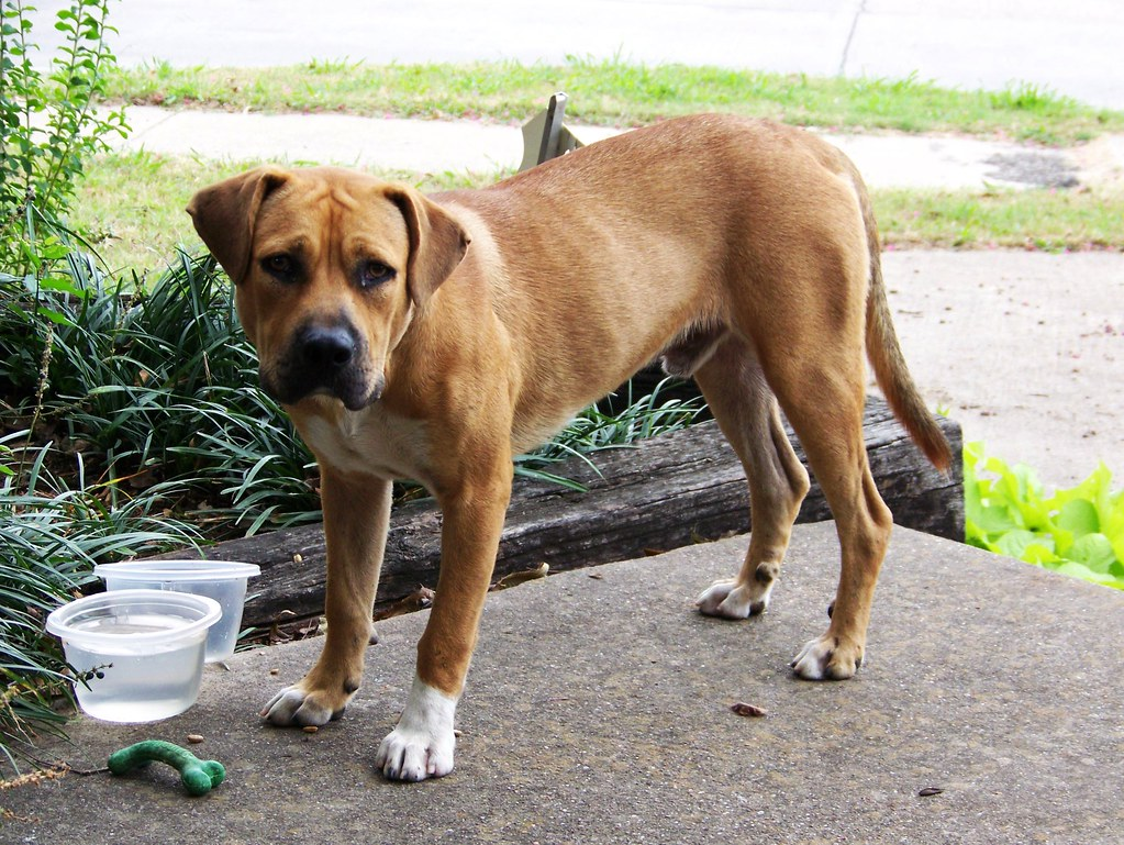 Black Mouth Cur Squirrel Dog For Sale