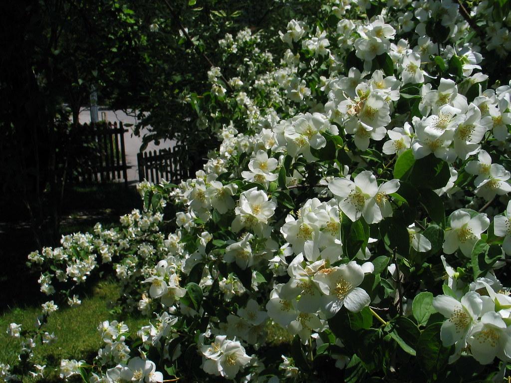 jasmine jasmin garden garten summer sommer jasmine. Black Bedroom Furniture Sets. Home Design Ideas