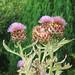 Purple Artichoke Flower