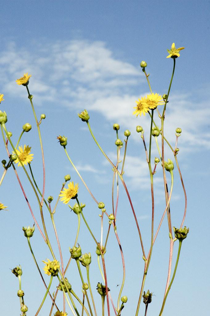 Silphium terebinthinaceum PRAIRIE DOCK | close up image of ...