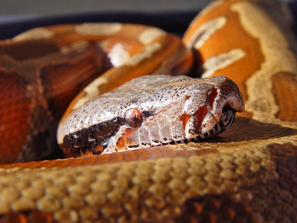 Blood Python Portrait Of Subee The Female Blood Python