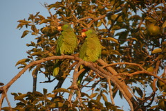 Finsch amazon parrot and Green cheeked amazon parrot