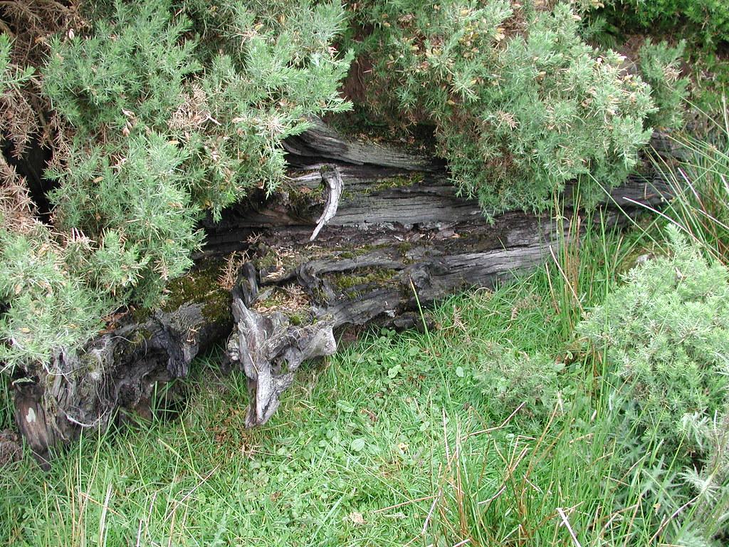 Bog Oak Bog Oak In A Field Near Malin Head Ireland