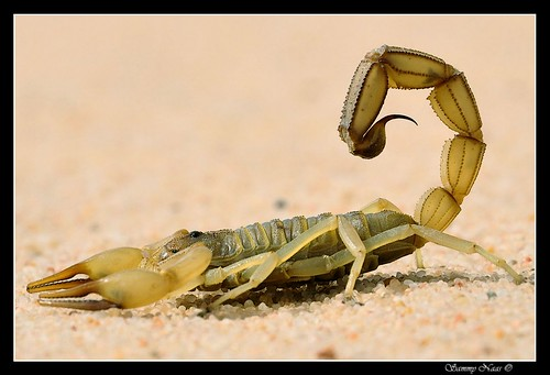 Mr.Scorpion from the side | by Sammy Naas