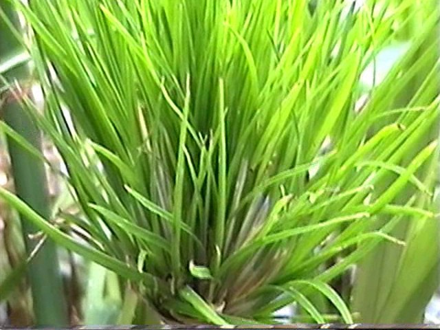 Ornamental pond grass new shoots of lime green emerging for Ornamental grasses for ponds