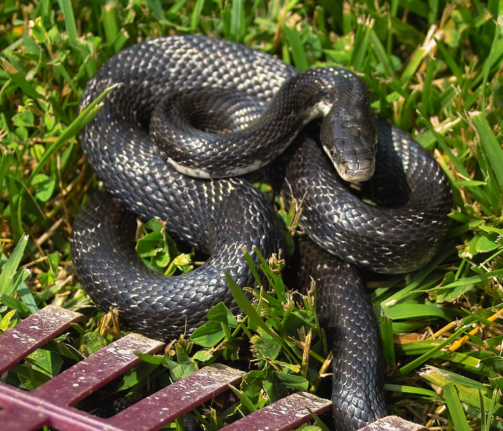 Snake In Back Yard Caught This Baby In My Back Yard A